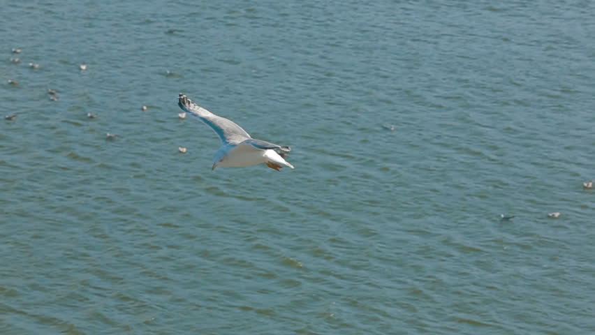 One seagull is sailing and landing on the ground. Slow motion.