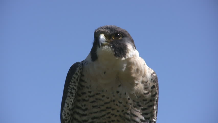 Close up of Peregrine Falcon Blue background