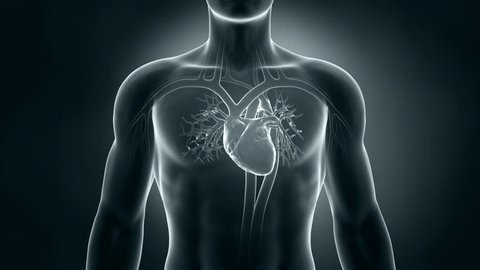 Human xray heart anatomy
