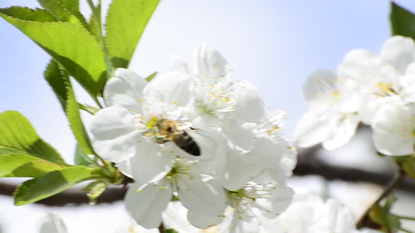 Honey bees collect flower nectar in spring, shallow field of depth background | Shutterstock HD Video #3722297