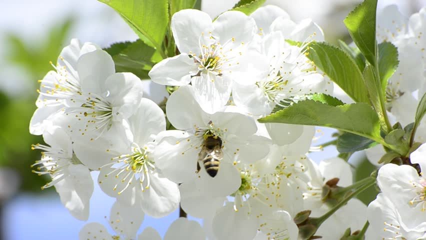 honey bees collect flower nectar in spring, shallow field of depth background
