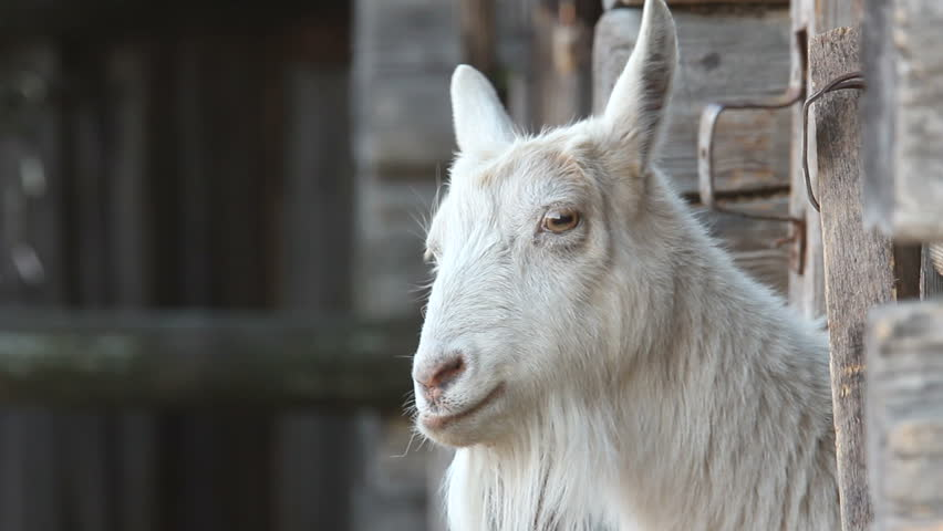 Goat on the farm.