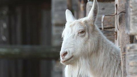 Goat on the farm.