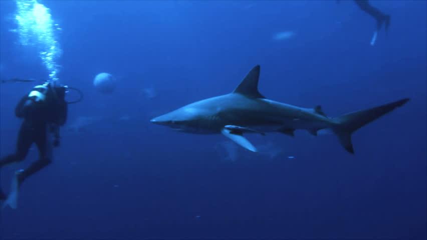 Shark between scuba divers close | Shutterstock HD Video #3729668