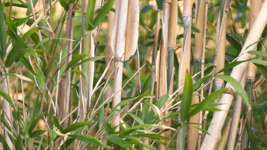 Background of bamboo in the wind