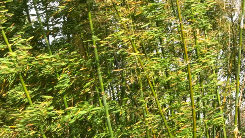Bamboo stems and leaves blowing together in a breeze