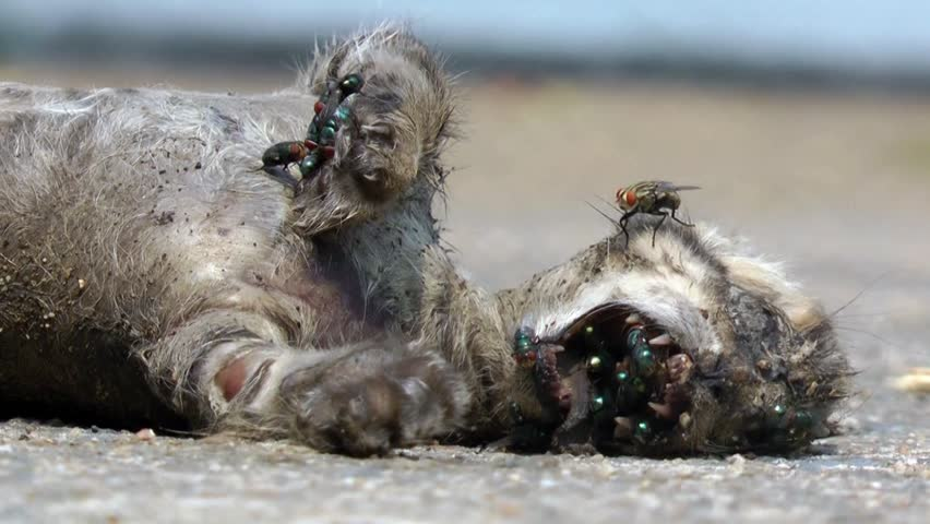 A dead cat decomposing with a mass of flies.