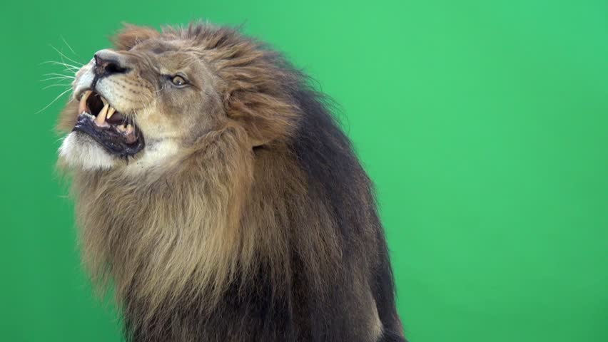 Slow Motion of a Lion roaring in front of a green key | Shutterstock Video #3811640