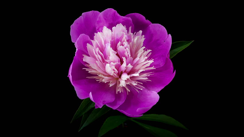 Timelapse of pink peony flower blooming on black background | Shutterstock Video #3832991