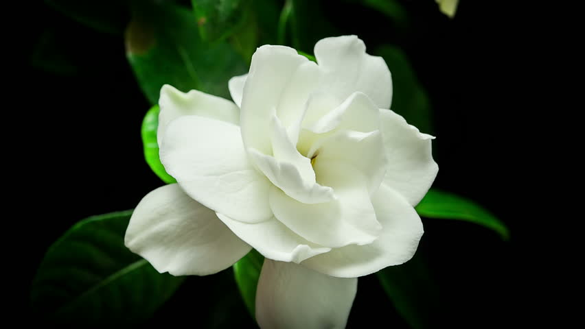 HD timelapse of gardenia flower blooming on black background