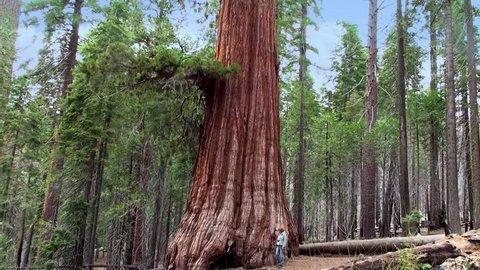 A Tourist at the Giant sequoia tree in Mariposa Grove, Yosemite NP, California.