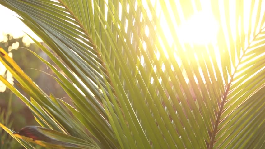 Panning through palm leaves with sun background. flare