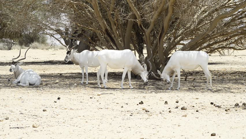 The addax (Addax nasomaculatus), known as the screwhorn antelope, is an antelope that lives in the Sahara desert