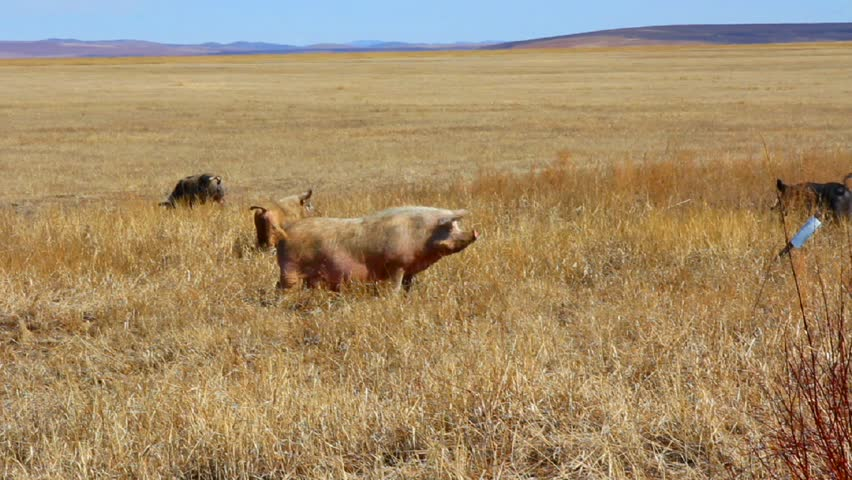Large herd of pigs on pasture in the field.