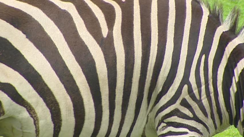 Zebra skin stripes Grant's zebra (Equus quagga boehmi)