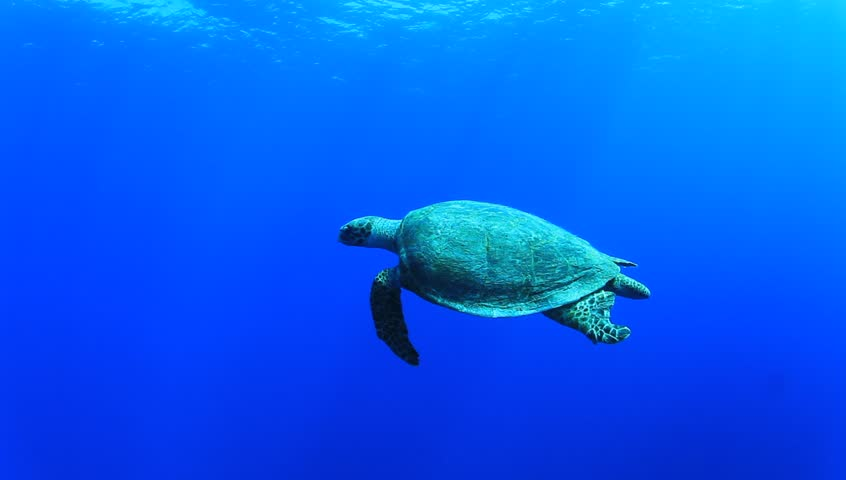 MS Sea Turtle Swimming Among Divers On Coral Reef Wall ...