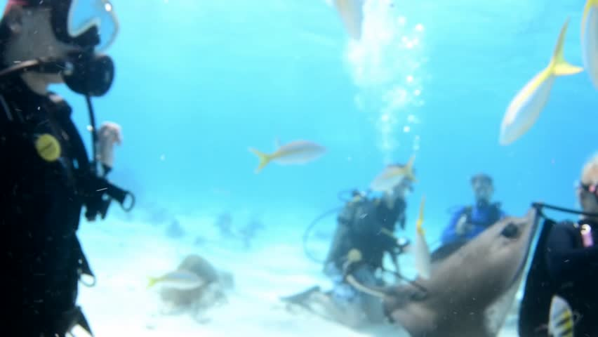 Scuba divers feeding Southern sting rays at Stingray City, Grand Cayman, Cayman Islands. Sting rays fly over camera and around divers.