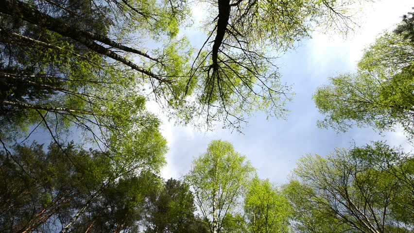 High angle view looking up at the top of the wind swinging giant hardwood trees in the pure forest   Shutterstock HD Video #3996385