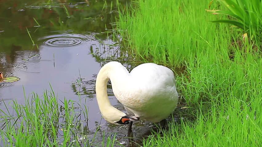 White swan in the water. | Shutterstock HD Video #4008760