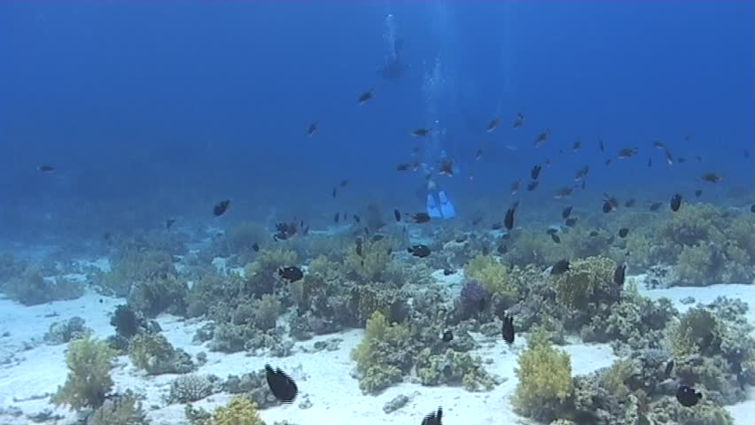 A large Napoleon wrasse approachng the camera. Captured on a 3CCD DVCAM Camera 16:9 anamorphic