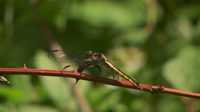 A female Slaty Skimmer (Libellula incesta) dragonfly clings to vegetation in spring.