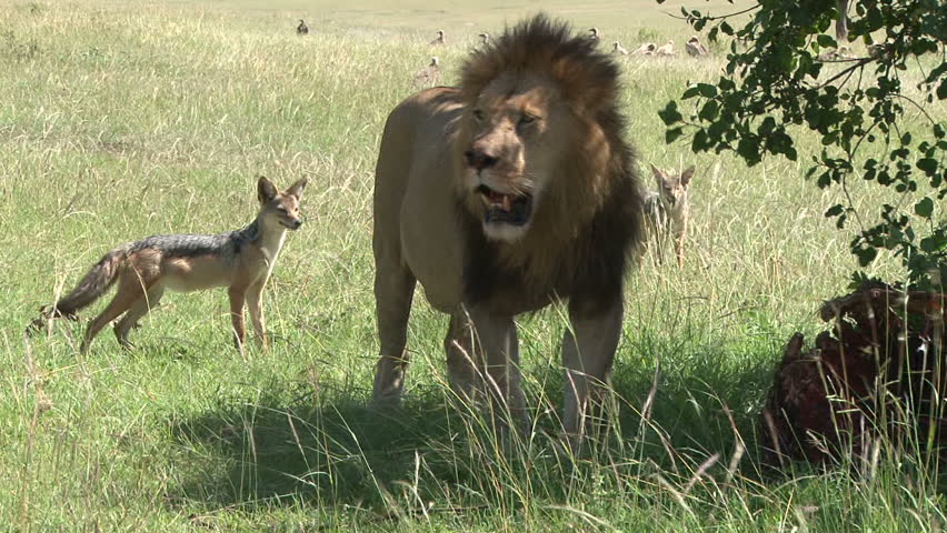 jackals planning to steal food from a lion is chased away when the lion awakes