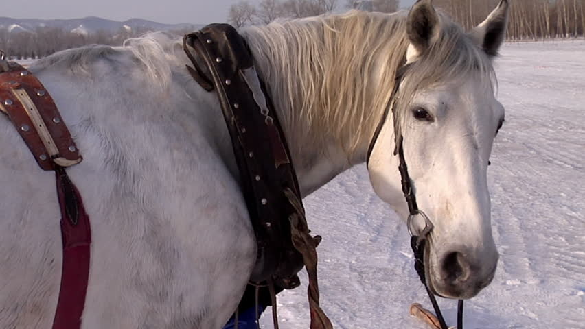 White horse. White horse on a winter field.