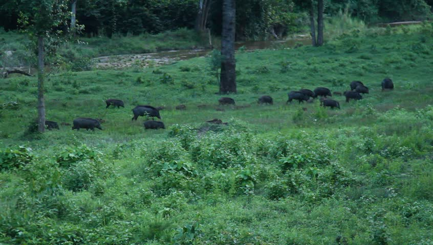 wild boar in west jungle of thailand - HD stock video clip