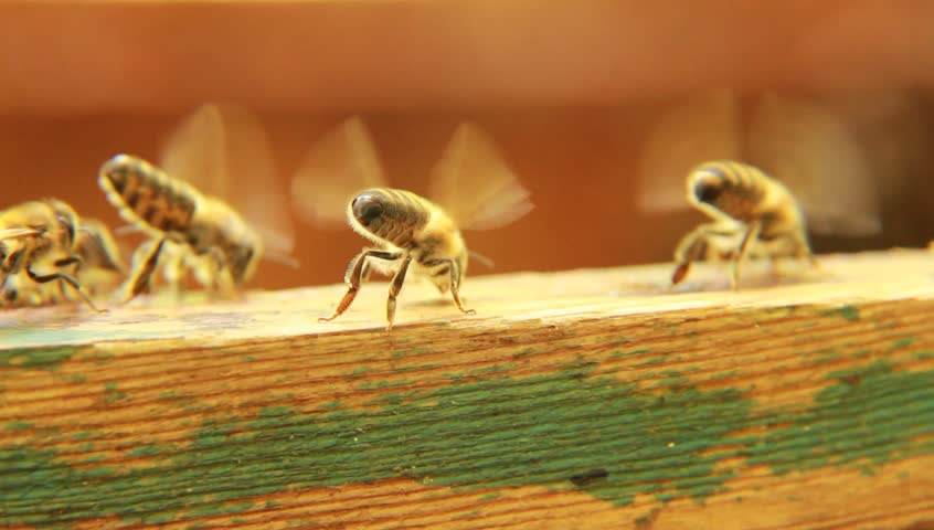 the issue of honey bees extinction Honeybees are vanishing at an alarming rate between 2006 and 2009 over thirty30 percent of the commercial honeybee population died off this drastic devastation of the bee population is taking place all over the world as more and more hives are disappearing the cause of this loss is called.