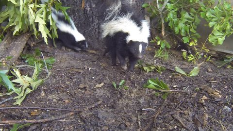 Striped Skunks in Georgia, (Mephitis mephitis) is an omnivorous mammal of the skunk family, mother and baby in June.