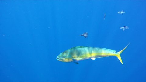 Underwater 1080 HD footage of saltwater game fish Mahi Mahi, a.k.a. Dolphin or Dorado, free swimming in the clear blue water of the Atlantic Ocean off the Florida Coastline.