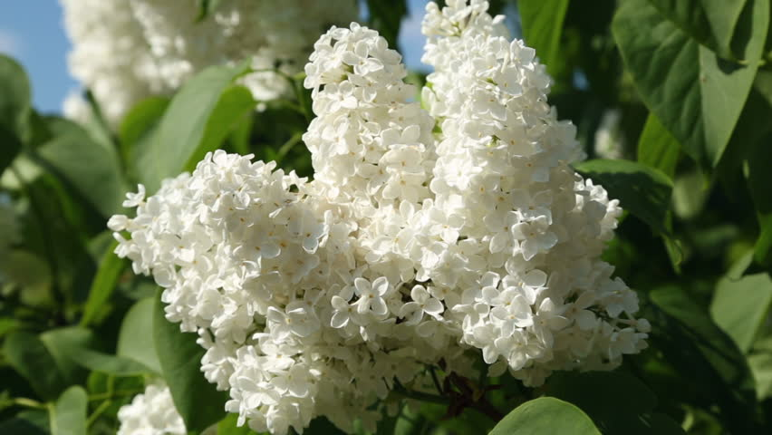 Stock video clip of white lilac tree flowers and green leaves stock video clip of white lilac tree flowers and green leaves shutterstock mightylinksfo