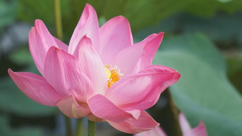 Blooming lotus flower with bee stock footage video 100 royalty blooming lotus flower with bee stock footage video 100 royalty free 4242497 shutterstock mightylinksfo