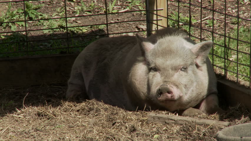 Vietnamese Potbellied Pig resting in the shade on a hot summer's day.
