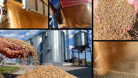 Wheat grain in a hand after good harvest of successful farmer and unloading wheat in silo, slow motion, split screen