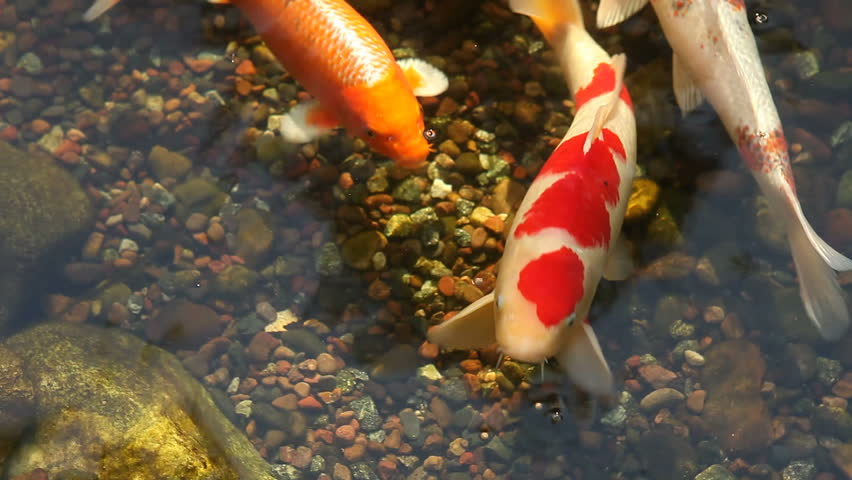 Koi fish feeding in a pond stock footage video 429871 for Koi pond bubble