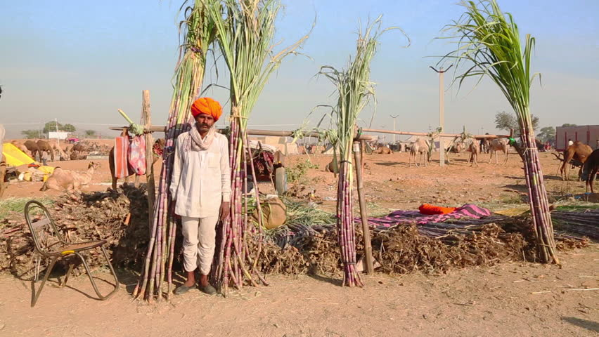 Locked on shot of a man selling sugar canes at pushkar camel fair locked on shot of a man selling sugar canes at pushkar camel fair pushkar ajmer district rajasthan india stock footage video 4323647 shutterstock altavistaventures Image collections