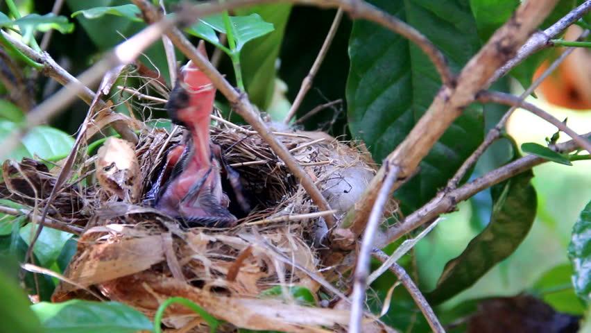 Newborn hungry baby birds in nest