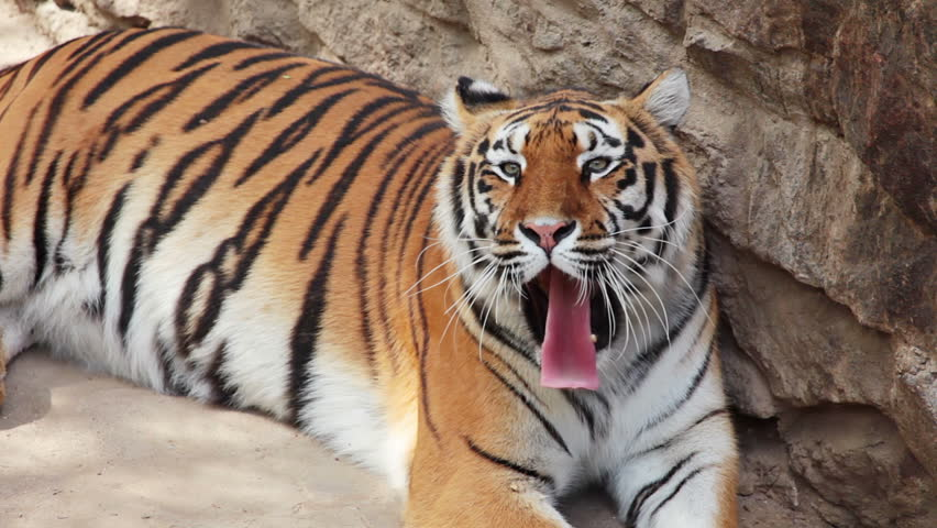 Summer. Zoo. An adult tiger resting after dinner and yawns