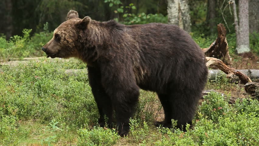 Brown Bear walking in forest feeding on black berry