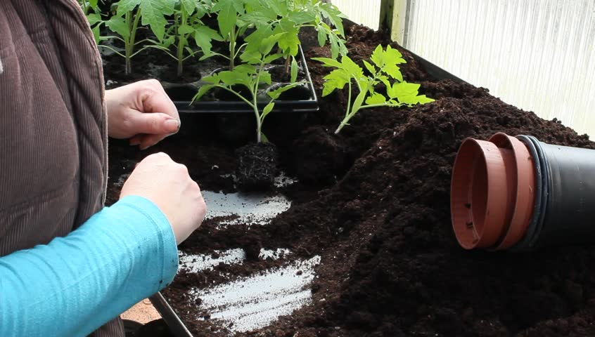 potting young tomato plants