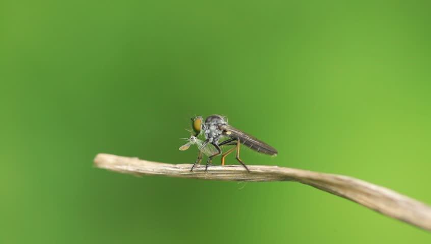 Header of tabanidae