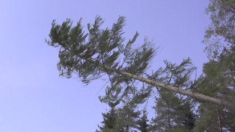 SLOW MOTION: Big spruce tree falling down
