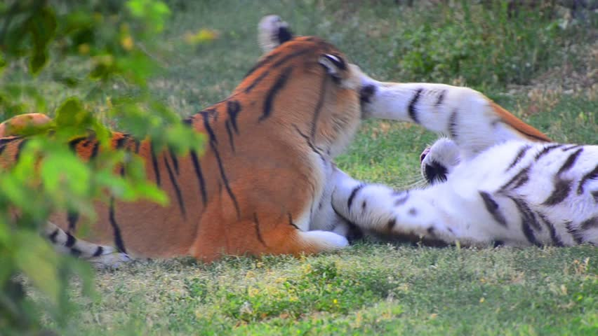 Tigers fight game play. Tigers are fighting in a wild biting its body and neck. Fight for dominate position among others. | Shutterstock HD Video #4479923