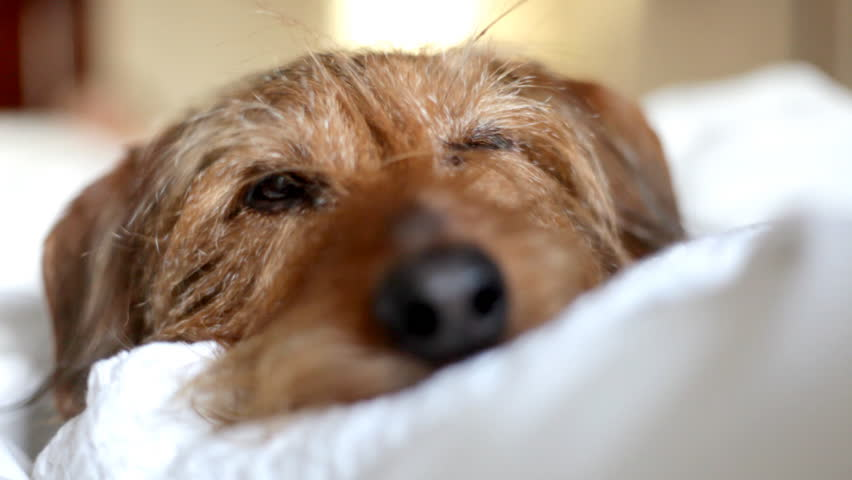 Sleeping puppy awakes. Cute little dog snuggled up in the bedroom