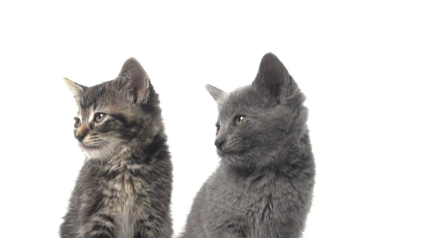 Two baby American shorthair kittens looking back and forth on white background #4526207