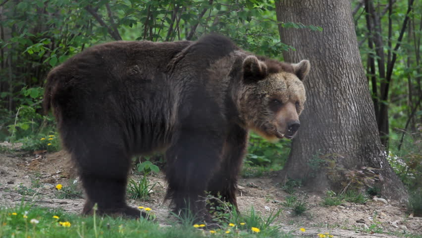 Big black bear going into spring green forest
