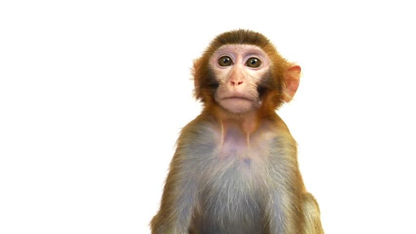 Java Macaque Monkey Isolated on White Background