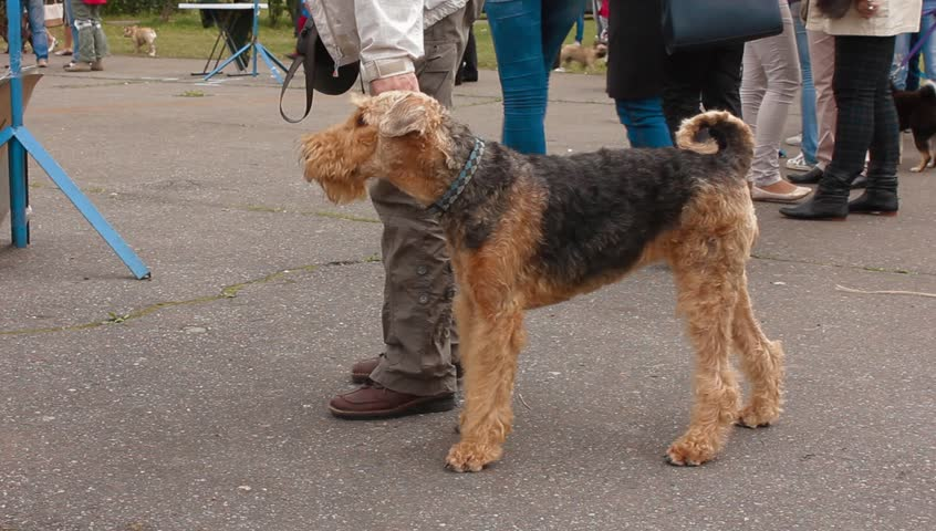 Header of Airedale Terrier