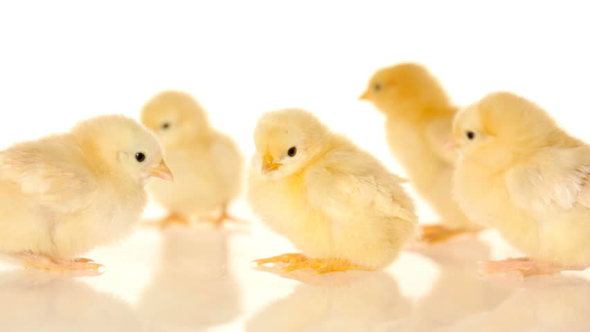 Baby Chicks On White Background Stock Footage Video (100 ...